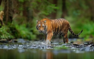World Tiger Day: We also did an act of love for the ecosystem, we adopted a tiger!