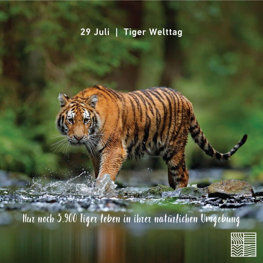 Tiger Welttage: Wir haben auch einen Akt der Liebe zum Ökosystem getan, wir haben einen Tiger adoptiert!   Intertan SA